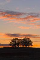 Calirornia Oak Trees at Sunset