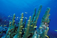 Pillar Coral a Los Roques, Venezuela