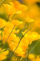 California Poppies in the Sierra foothills near Auburn California.