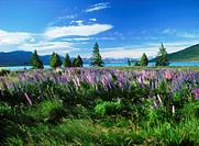 Colorful lupins in Southern Alps on Lake Tekapo on South Island of New Zealand