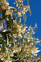 Blossom on olive tree, Tuscany, Italy, Europe