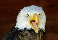Screaming Bald Eagle Haliaeetus leucocephalus looking towards the camera with opened beck