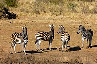 Herd of Burchell´s Zebras Equus burchelli smelling danger, Madikwe Game Reserve, South Africa