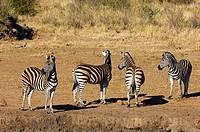 Herd of Burchell´s Zebras Equus burchelli smelling danger, Madikwe Game Reserve, South Africa