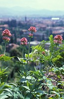 centranthus ruber flowers, bergamo, italy