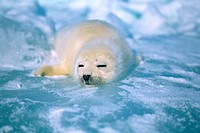 A seal sleeping on ice in Canada