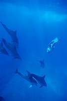 Dolphins and a diver underwater