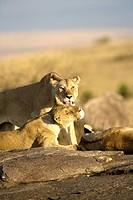 Lioness grooms a pride member