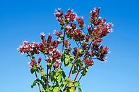 Marjoram Origanum vulgare
