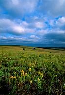 OKLAHOMA, NEAR PAWHUSKA, NATURE CONSERVANCY´S TALLGRASS PRAIRIE PRESERVE, LANDSCAPE, GOLDENROD
