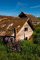 USA, WASHINGTON STATE, PALOUSE COUNTRY, ABANDONED FARM, FLOWERS