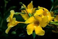MAURITIUS, ALLAMANDA FLOWER Allamanda cathartica