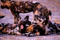 BOTSWANA, OKAVANGO DELTA, MOMBO ISLAND, AFRICAN HUNTING DOGS, PUPPIES PLAYING