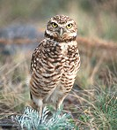 An endangered burrowing owl in the Okanagan region of British Columbia, Canada