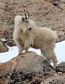 Billy Goat Nanny on a rock