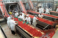 Women examining tomatoes on conveyor belt