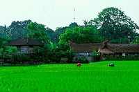 INDONESIA, BALI, UBUD, PEOPLE WORKING IN RICE FIELDS