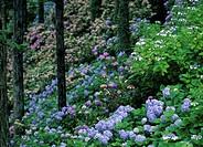 Hydrangea in Mountain, Yamanashi, Japan