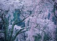Cherry Blossoms, Yamanashi, Japan