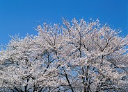 Cherry Blossoms and Blue Sky, Shizuoka, Japan