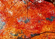 Autumn Leaves, Aichi, Japan