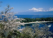 Mt.Fuji And Cherry Blossoms, Shizuoka, Japan