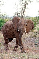 Africa, elephant