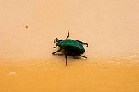 PERU, AMAZON BASIN, UCAYALI RIVER, GREEN BEETLE