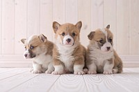 Three pembroke welsh corgi sitting on floor