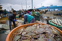 Dockworker unloads fresh crabs at harbor side fish market, Zhoushan City, Zhoushan Archipelago, Zhejiang Province, China