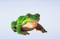 White's Tree Frog against white background.