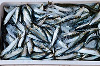 Sardines ready for grill in the Festival of Santoña, Cantabria, Spain