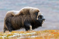 Muskox (Ovibos moschatus), Bull, Dovrefjell-Sunndalsfjella National Park, Norway, Scandinavia, Europe, Autumn, Fall