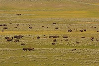 WYOMING, USA _ Herd of bison in the Hayden Valley, in Yellowstone National Park.