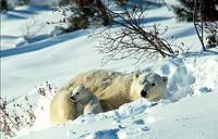 Canada, Manitoba, Churchill, Polar BearUrsus maritimus, Thalassarctos maritimus
