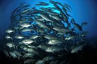 Shoal of jackfishes _ Caranx sexfasciatus, Sabah, Mabul_Sipadan Malaysia