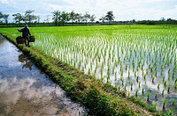 Thailand,Chiang Mai,Farmer and Rice Paddy Fields