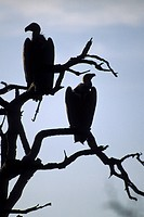 Africa, South Africa, Kruger park, sunset and vultures