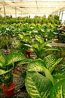 Houseplants Dieffenbachia in a garden center Riudoms, Tarragona, Catalonia, Spain