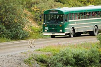 Denali National Park tour bus stopped on the park road waits for a Gray Wolf to pass, Interior Alaska, Summer/n