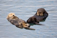 Pair of Sea otters floating in Prince William Sound, Alaska, Southcentral, Fall