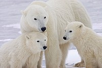 Portrait of two yearling Polar Bear Ursus maritimus cubs sitting with their mother in Churchill, Manitoba, Canada, Winter