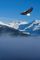 Bald Eagle soars above fog in the Tongass National Forest with the Coast Mountains and Mendenhall Glacier in the background, Southeast Alaska, Winter,...