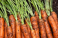 Close up of fresh picked home grown organic carrots, Anchorage, Southcentral Alaska