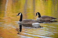 Canada goose Branta Canadensis Loafing in beaverpond