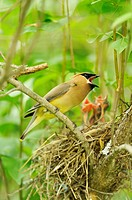 Cedar Waxwing Bombycilla cedrorum Adult feeding young