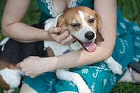 Beagle sitting on owner´s lap