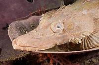 Juvenile Beauforts Crocodilefish, Cymbacephalus beauforti, Raja Ampat, West Papua, Indonesia