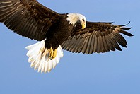 Bald Eagle (Haliaeetus leucocephalus) in flight looking down in beautiful light