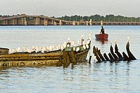 Snowy Egret Egretta thula flock, roosting on boat wrecks at dawn, Demerara River, Georgetown, Guyana, october